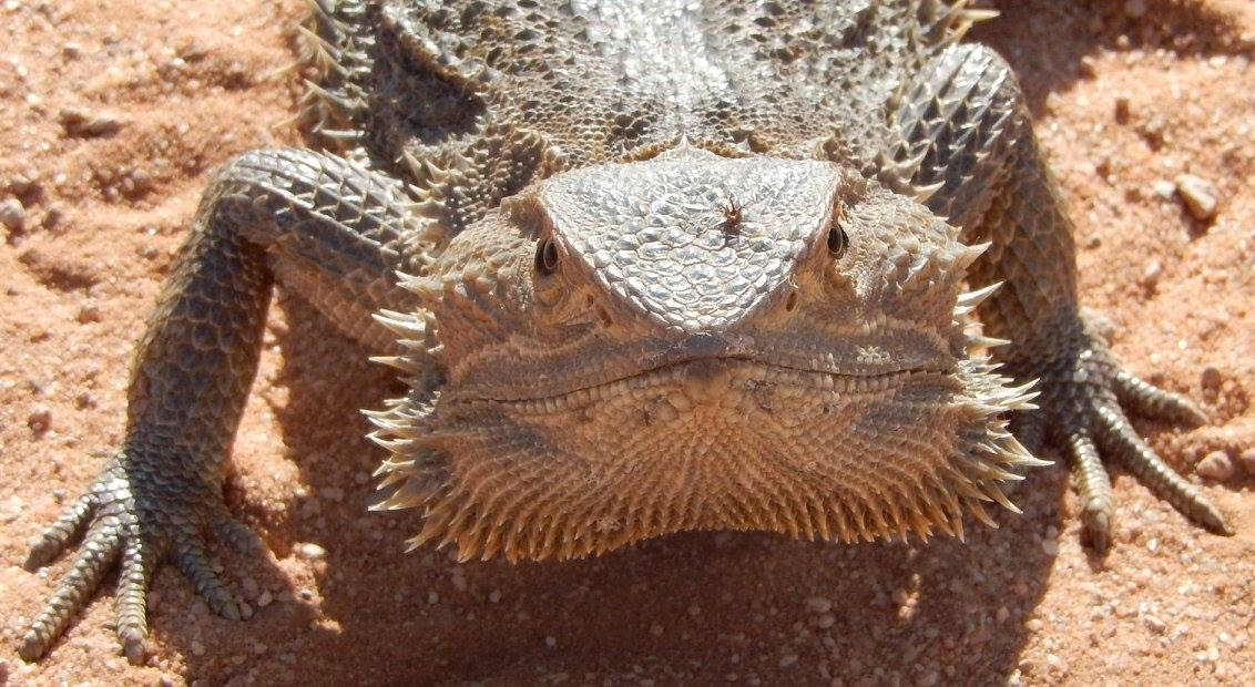 Close up of Bearded Dragon
