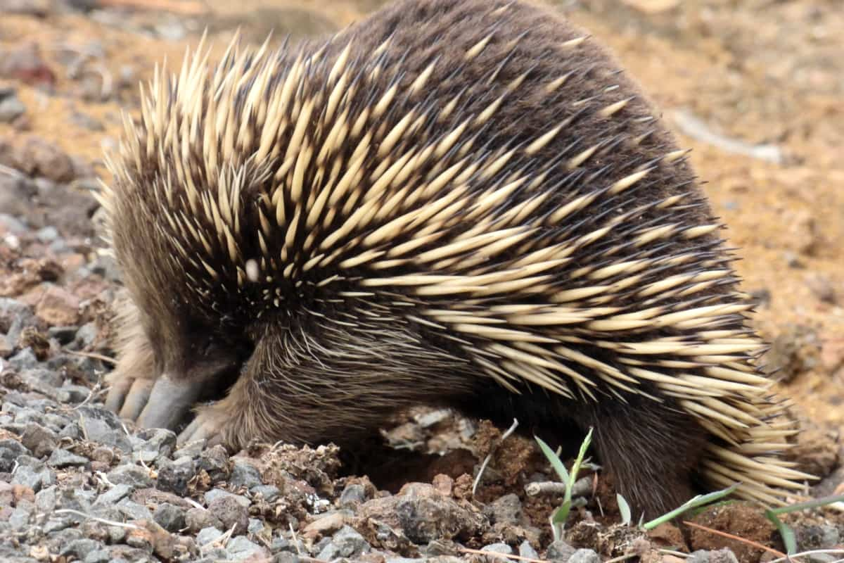 how to catch an echidna