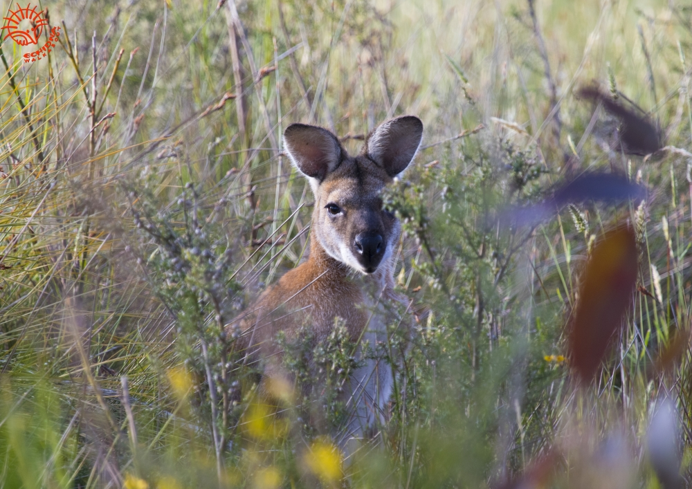 RED-necked-Wallaby