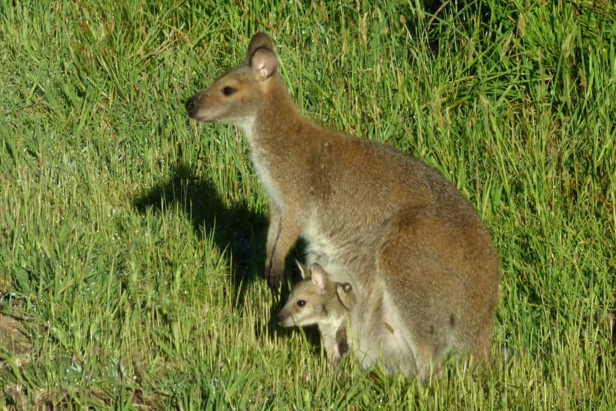 Red-necked wallaby with joey