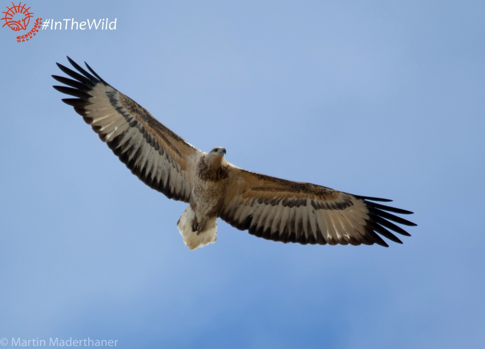 WHITE-bellied-sea-eagle-immature-flying
