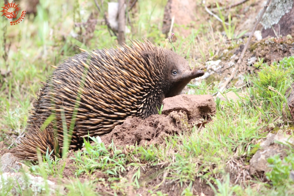 echidna-looking-up