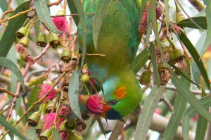 purple-crowned lorikeet on great ocean road bird tour