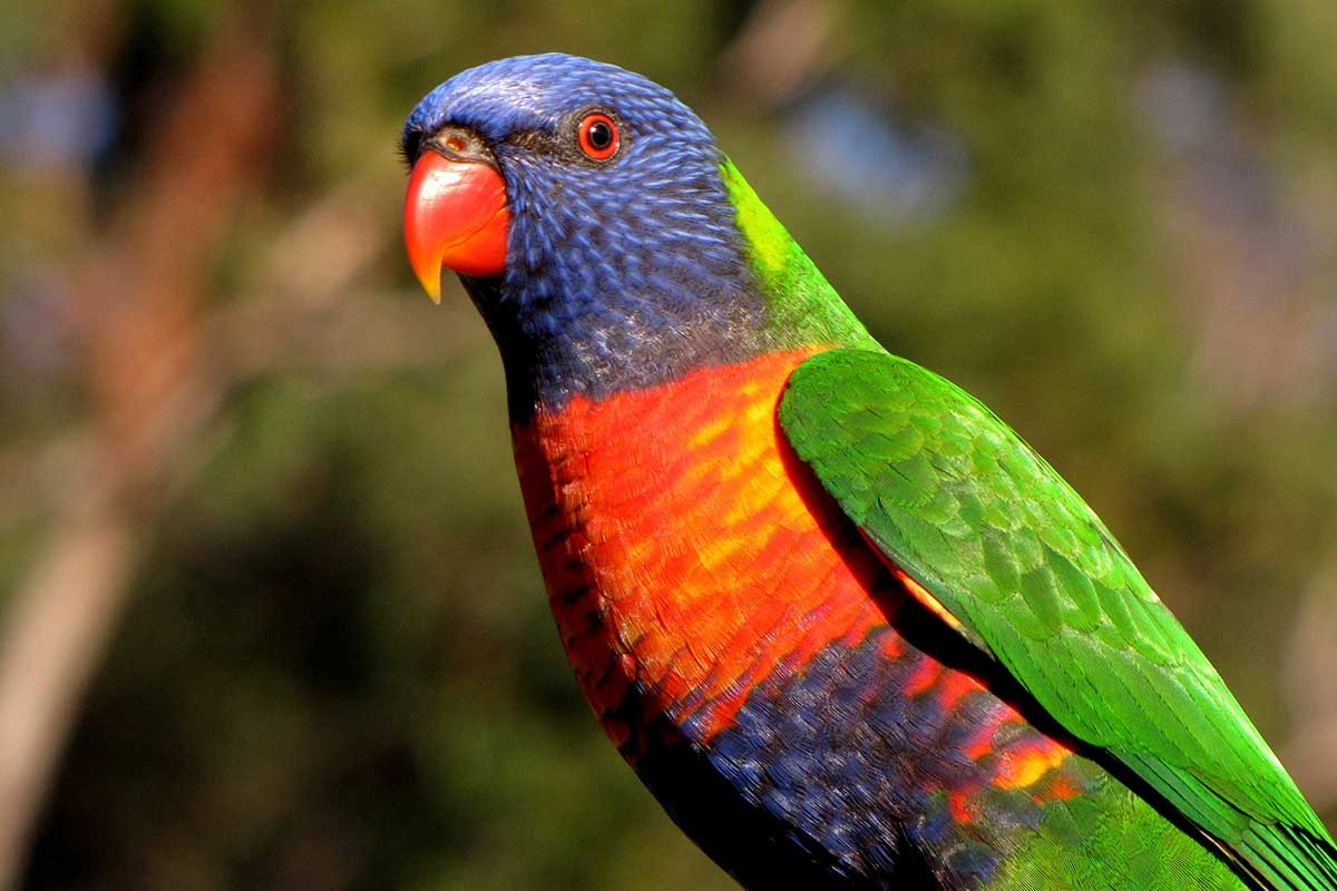 rainbow lorikeet East Gippsland