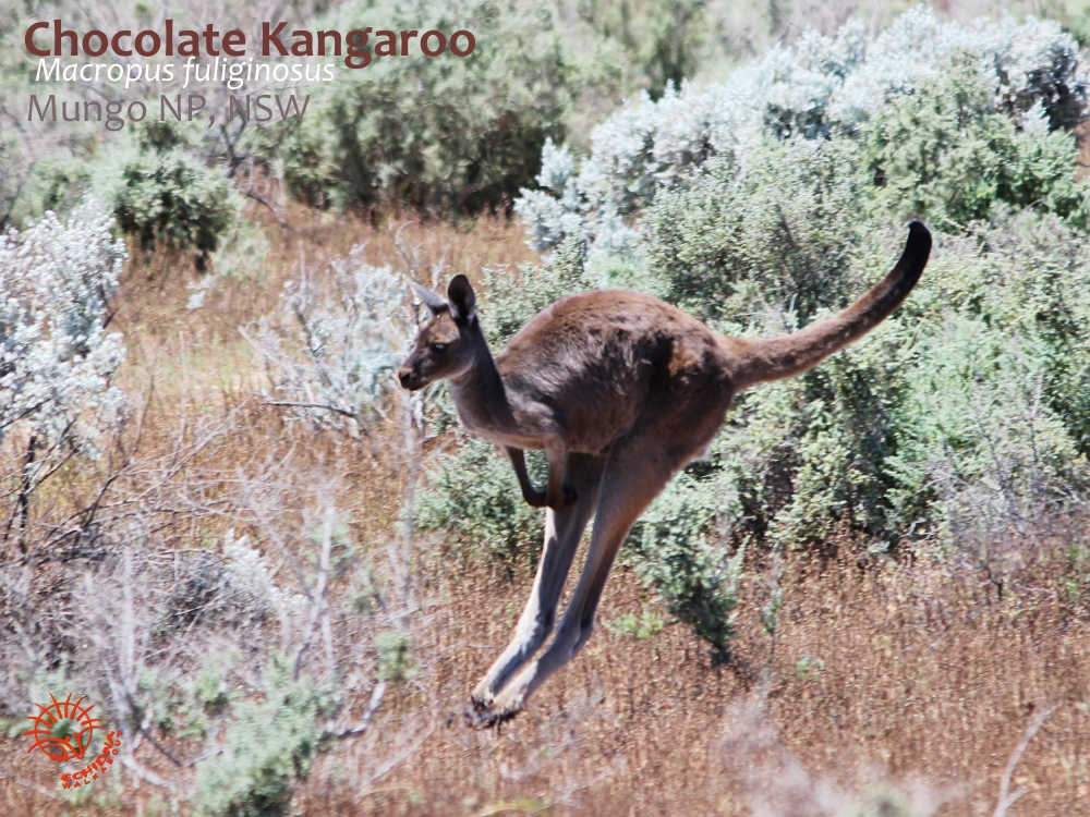 Western Grey (Chocolate) Kangaroo