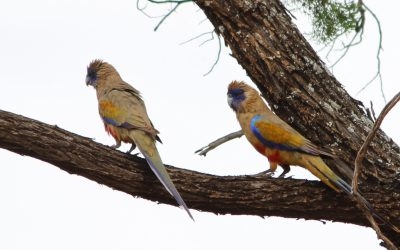 An explosion of Blue-bonnet Parrots on Mungo Outback Journey