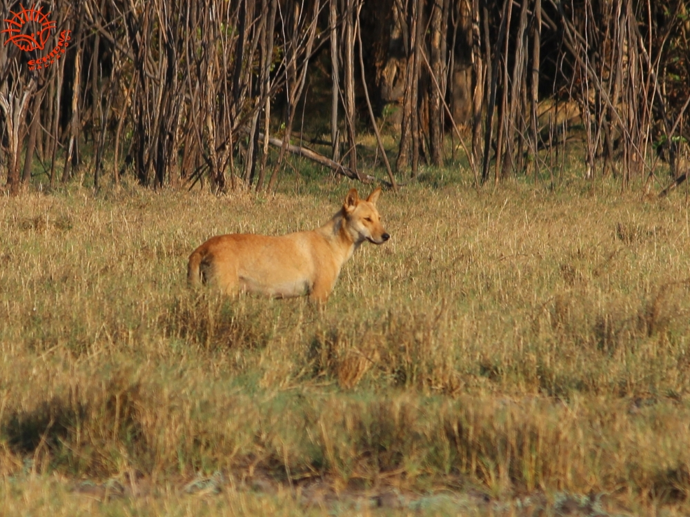 Dingo - Wild Top End wildlife tour