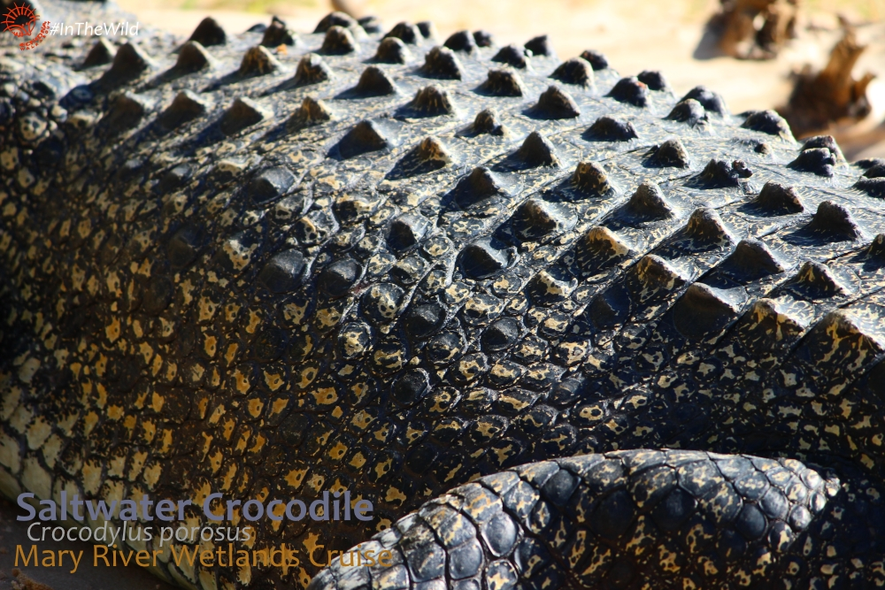 Saltwater crocodile body close up