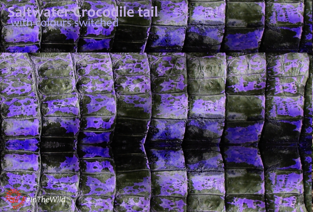 Saltwater Crocodile tail pattern