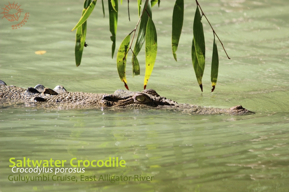 Crocodiles are beautiful