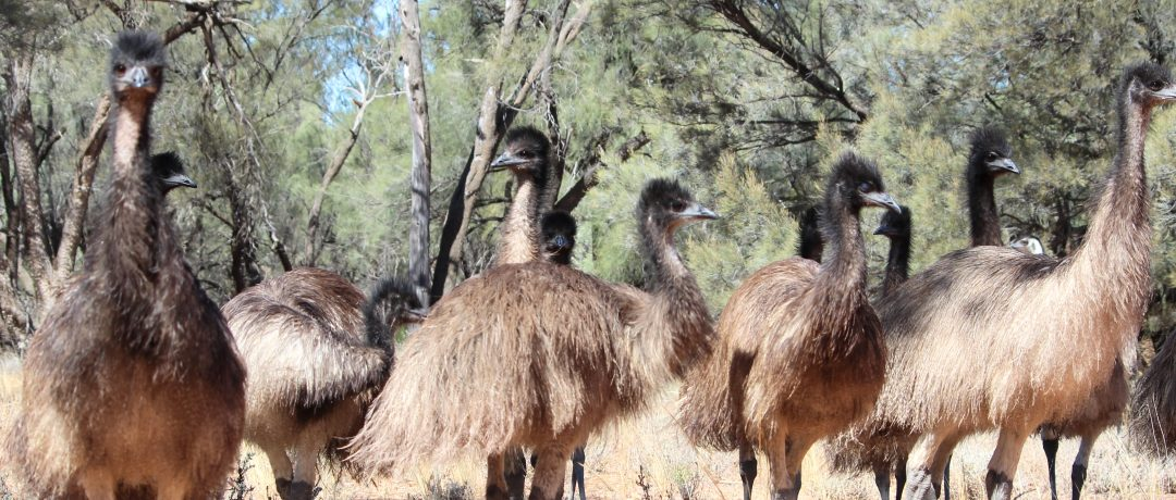 Teenage emus in the Outback
