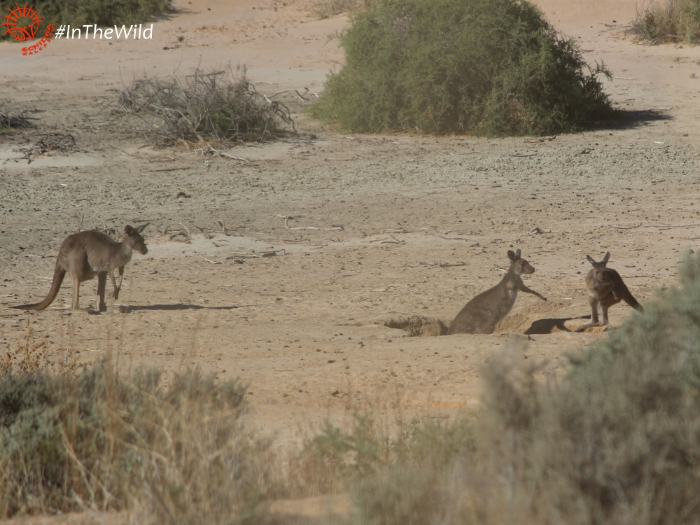Kangaroos at Mungo