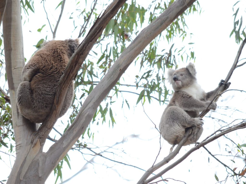 Koalas don't sleep all the time