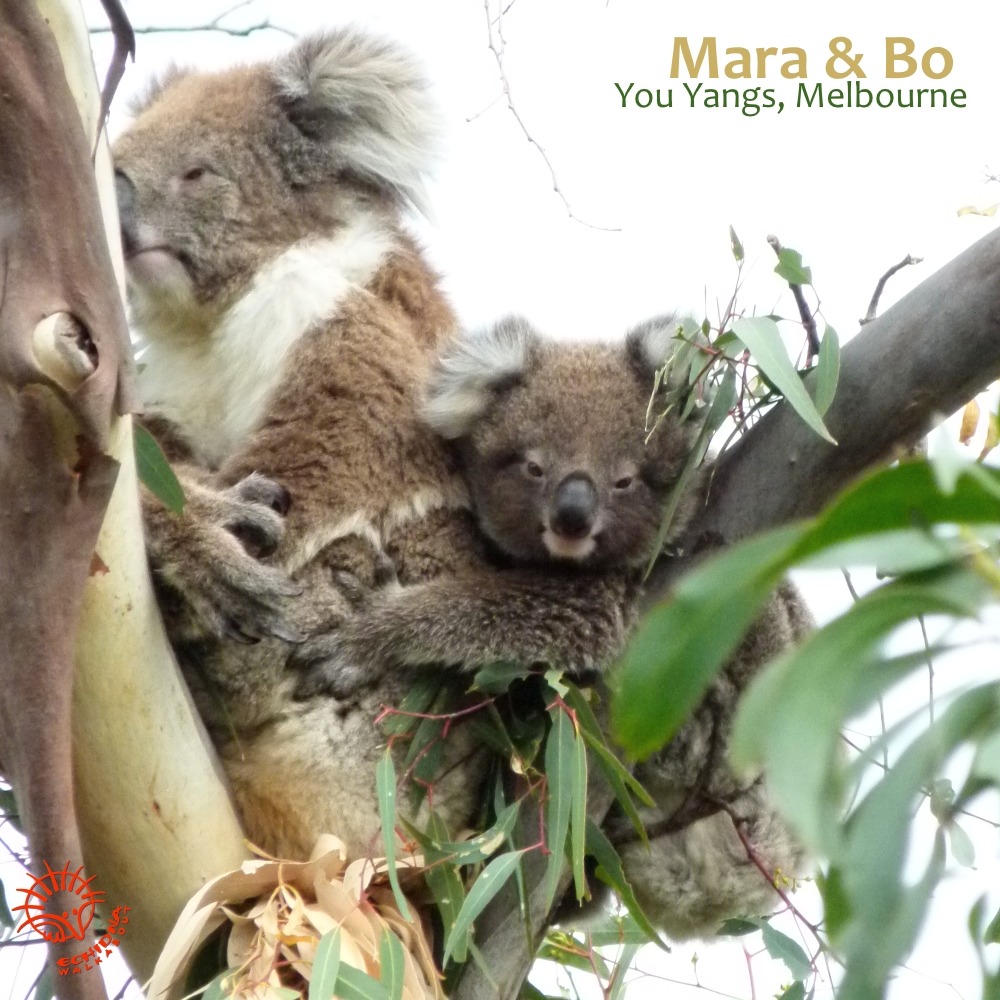 Best time to see koalas
