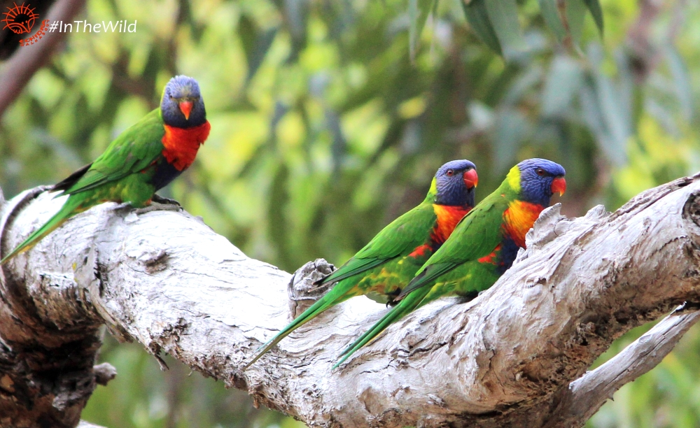 best time to see lorikeets