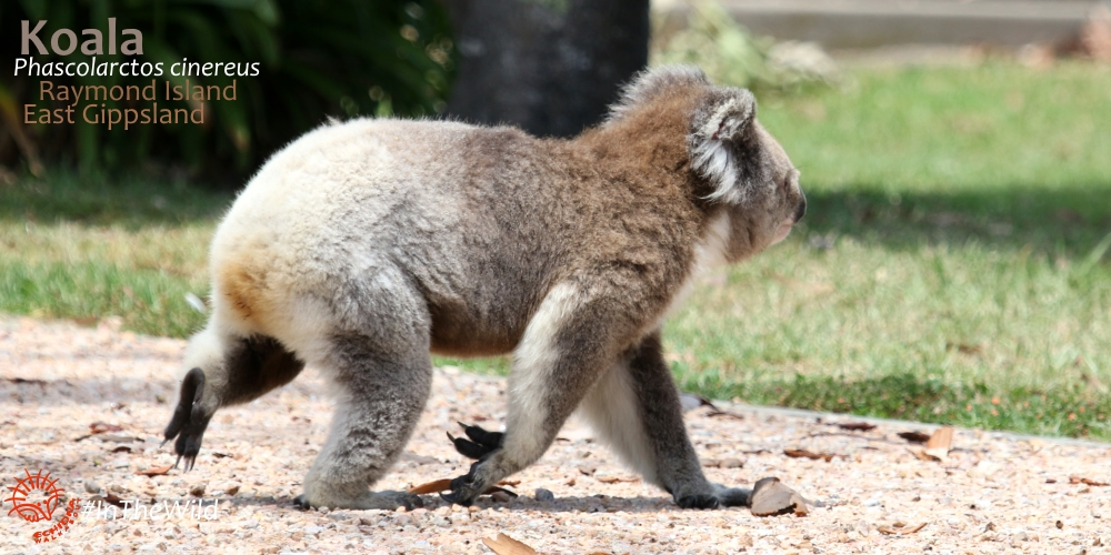 best places to see wild koalas