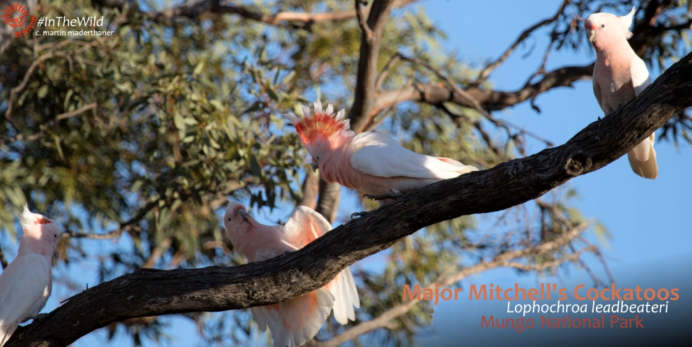 Pink Cockatoo - where to see most Australian wildlife