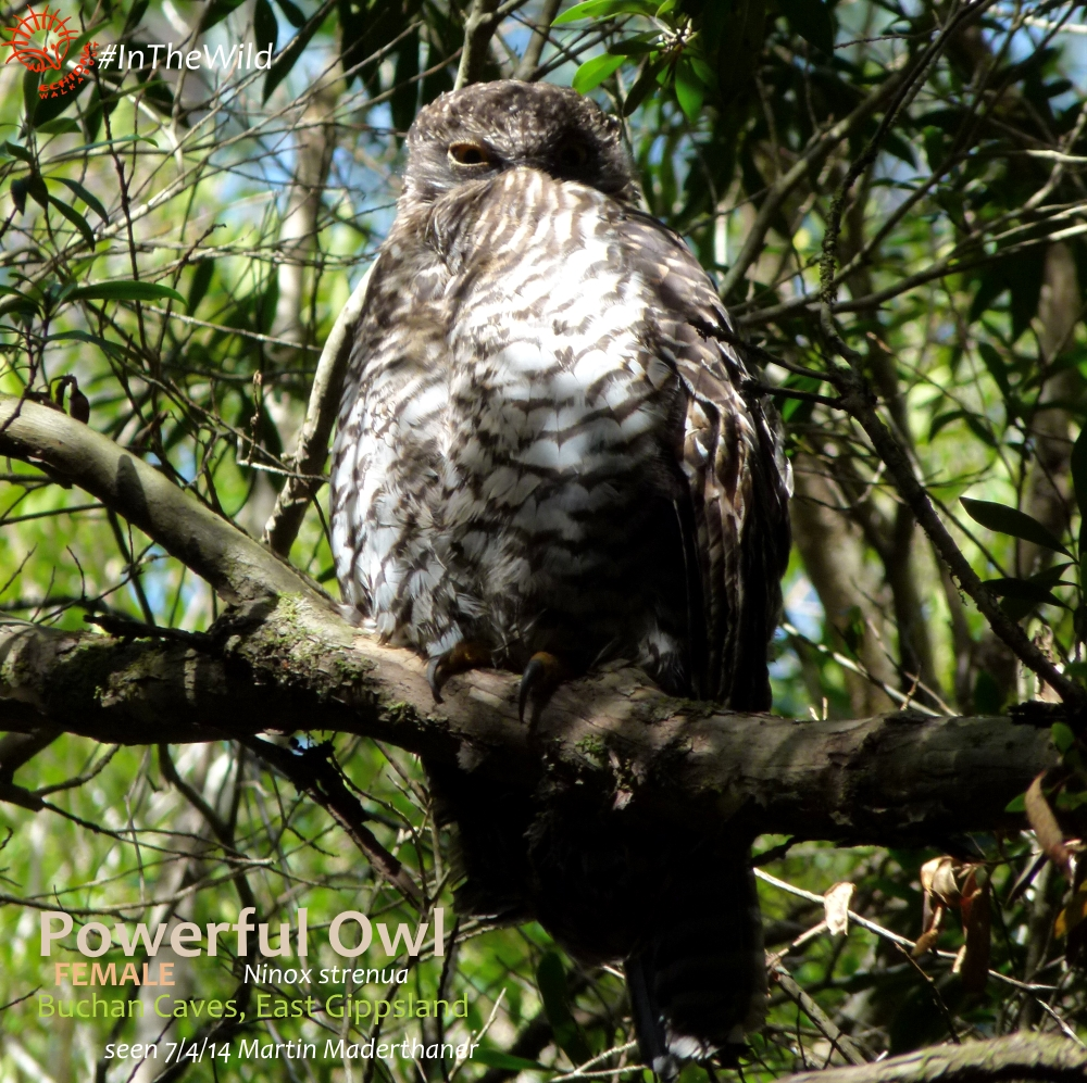 powerful owls of buchan