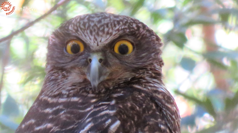 Female Powerful Owl face