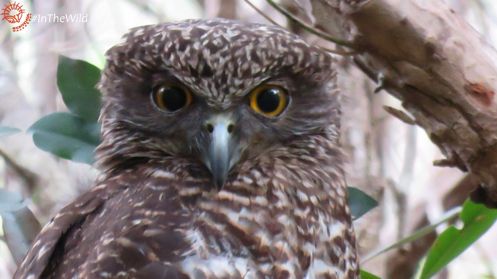 male Ninox strenua face East Gippsland