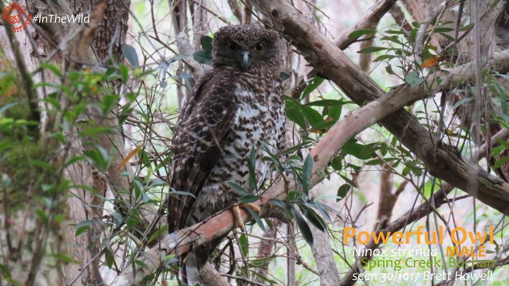 male powerful owl buchan
