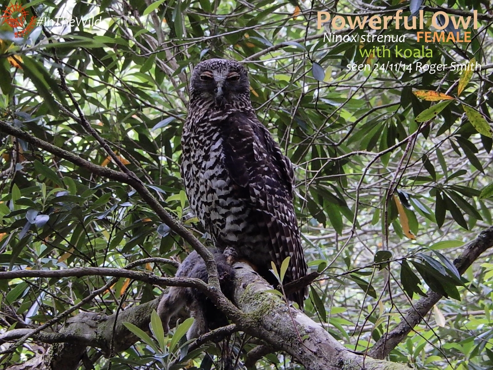 powerful owl holding koala east gippsland