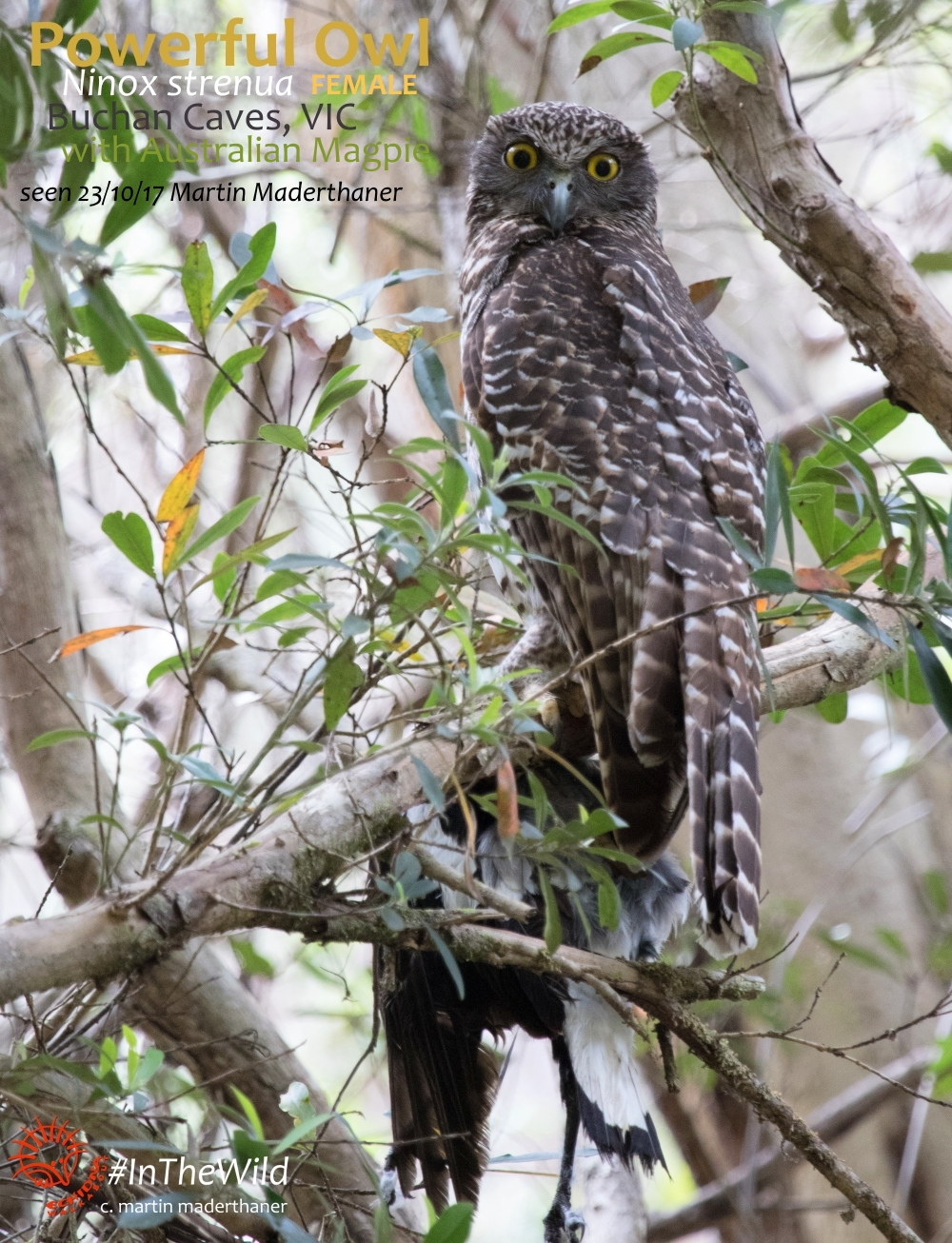 Powerful Owl holding dead Magpie