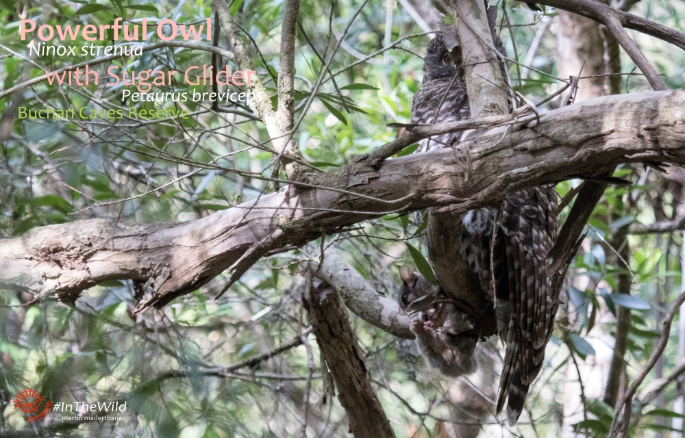 female Powerful Owl with male Sugar Glider prey