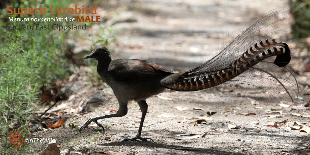 best place to see lyrebirds