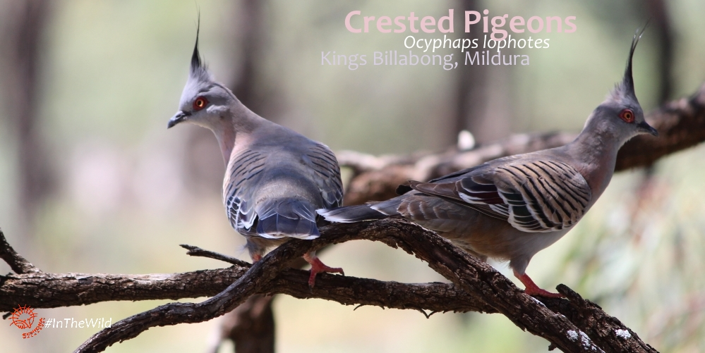 where to see pigeons in Australia