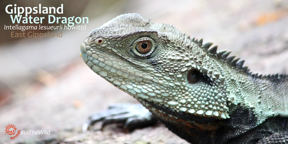see most Water Dragons in the wild