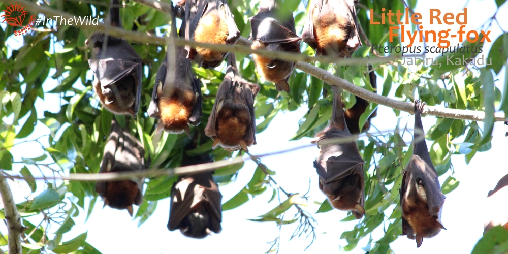where to see flying-foxes in Australia