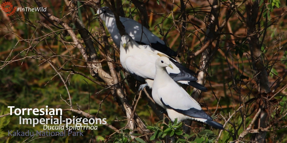 pigeons and doves of Australia