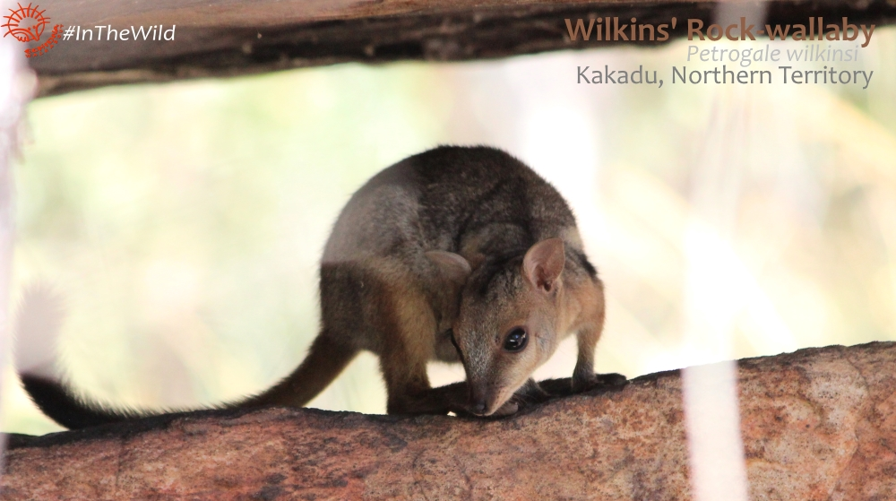 A beautiful mystery: the Wilkins' Rock-wallaby