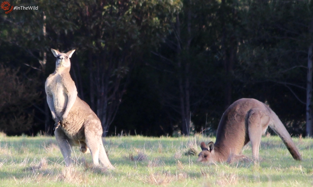 why do kangaroos avoid fights