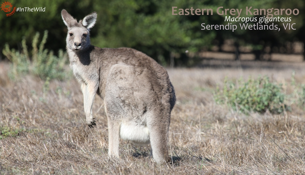wildlife of great ocean road - eastern grey kangaroo