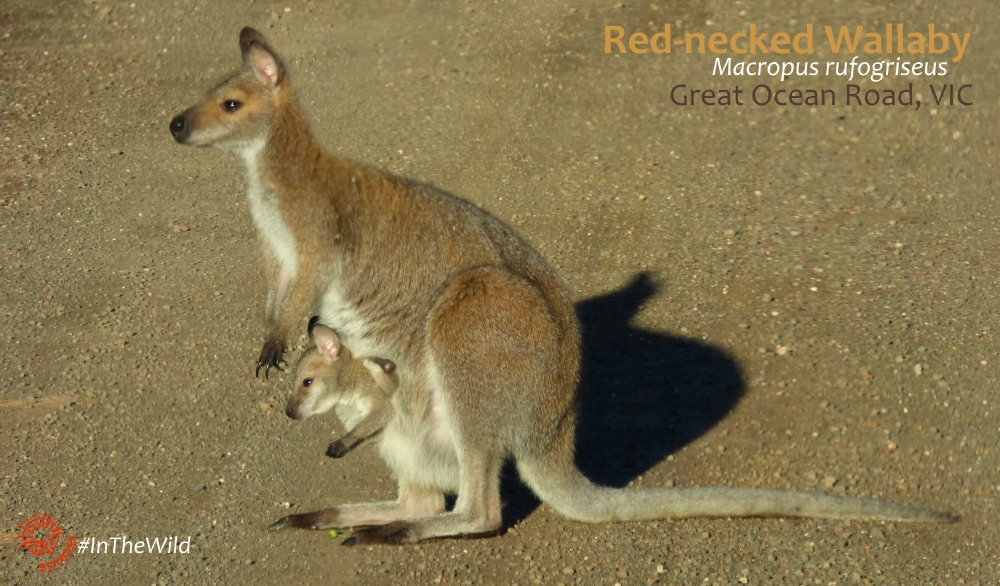 wallaby with baby great ocean road