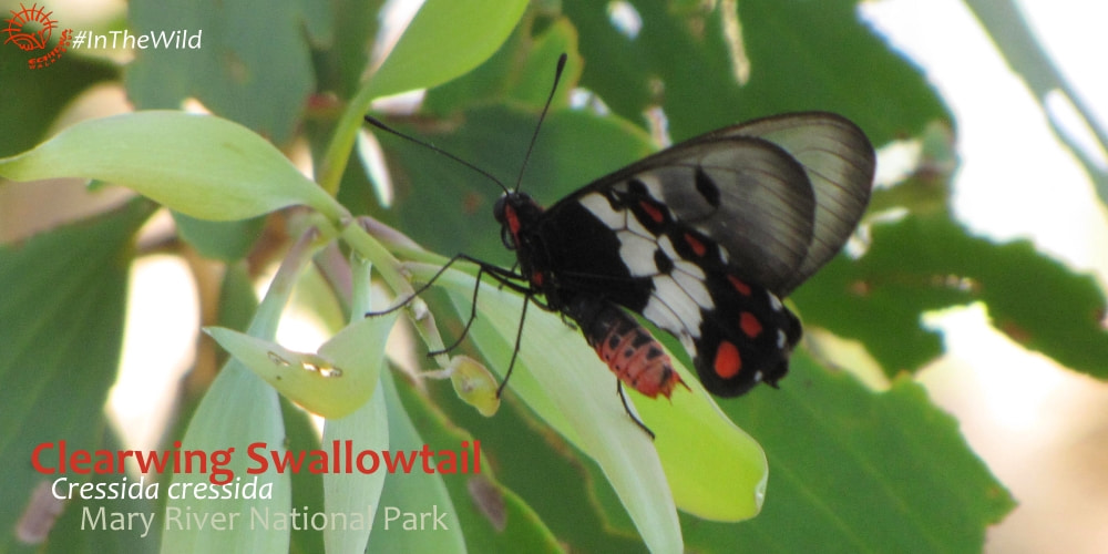 butterflies of Mary River National Park