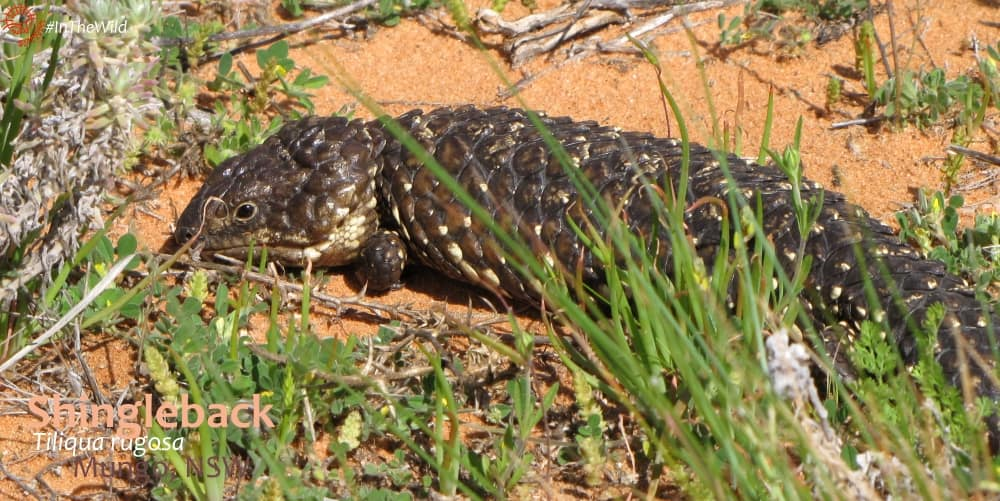 outback lizards at mungo