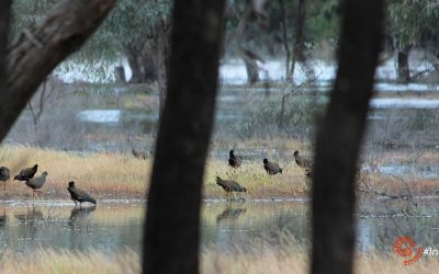 Finding birds in the Outback: Black-tailed Native-hen