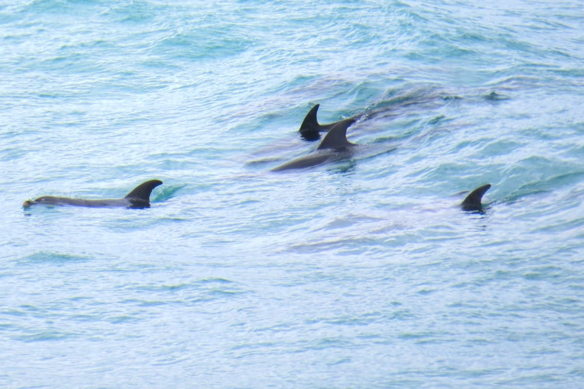 Bottlenose Dolphins along Great Ocean Road