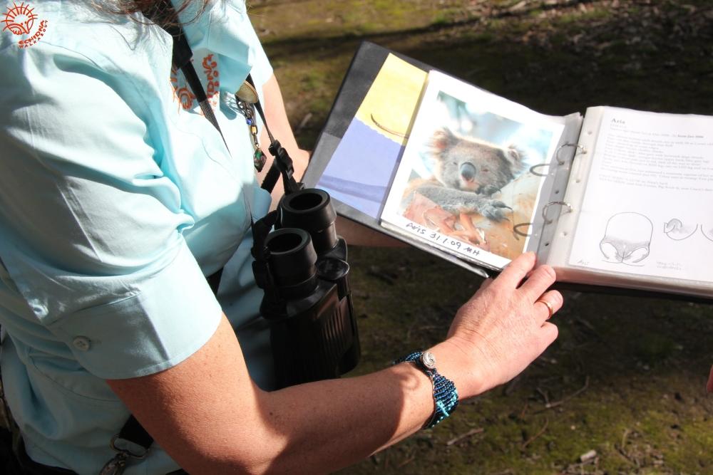 Koala research