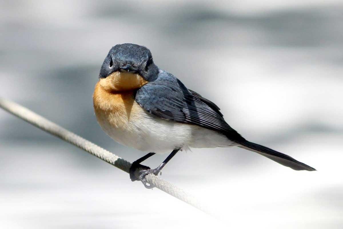 wild top end broad-billed flycatcher