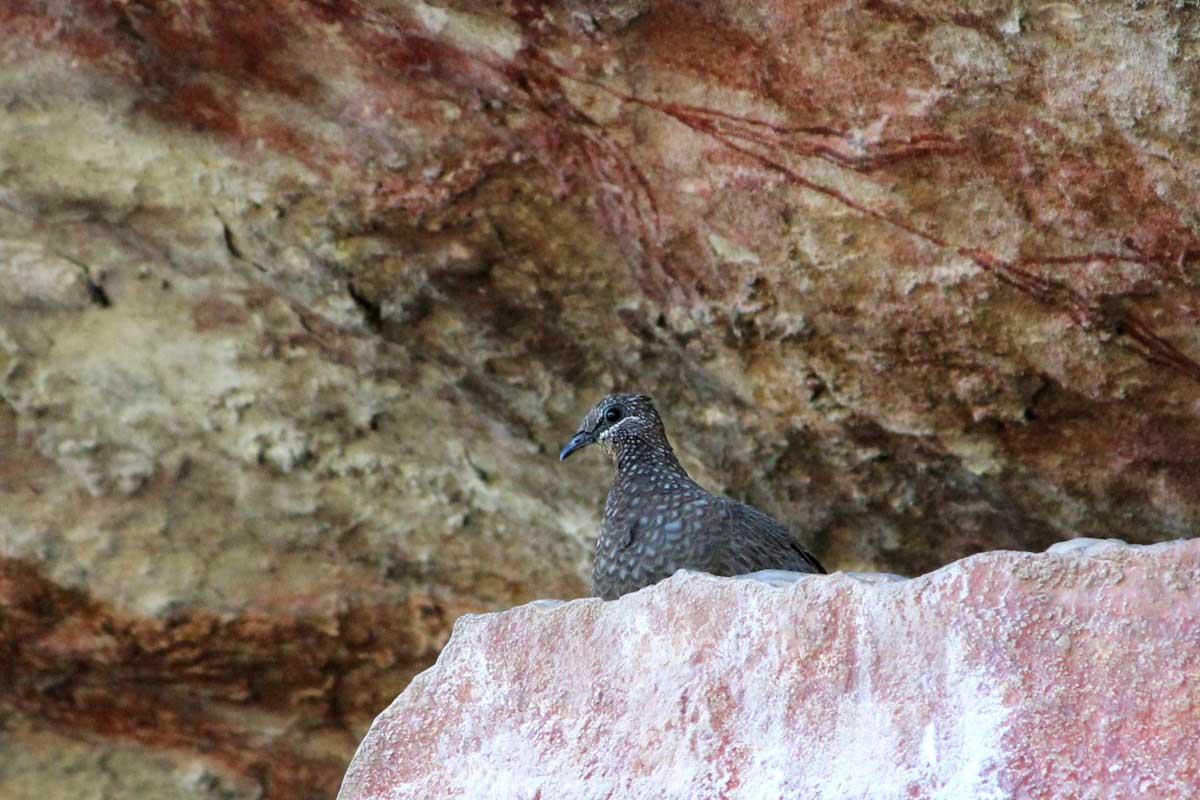 wild top end pigeon