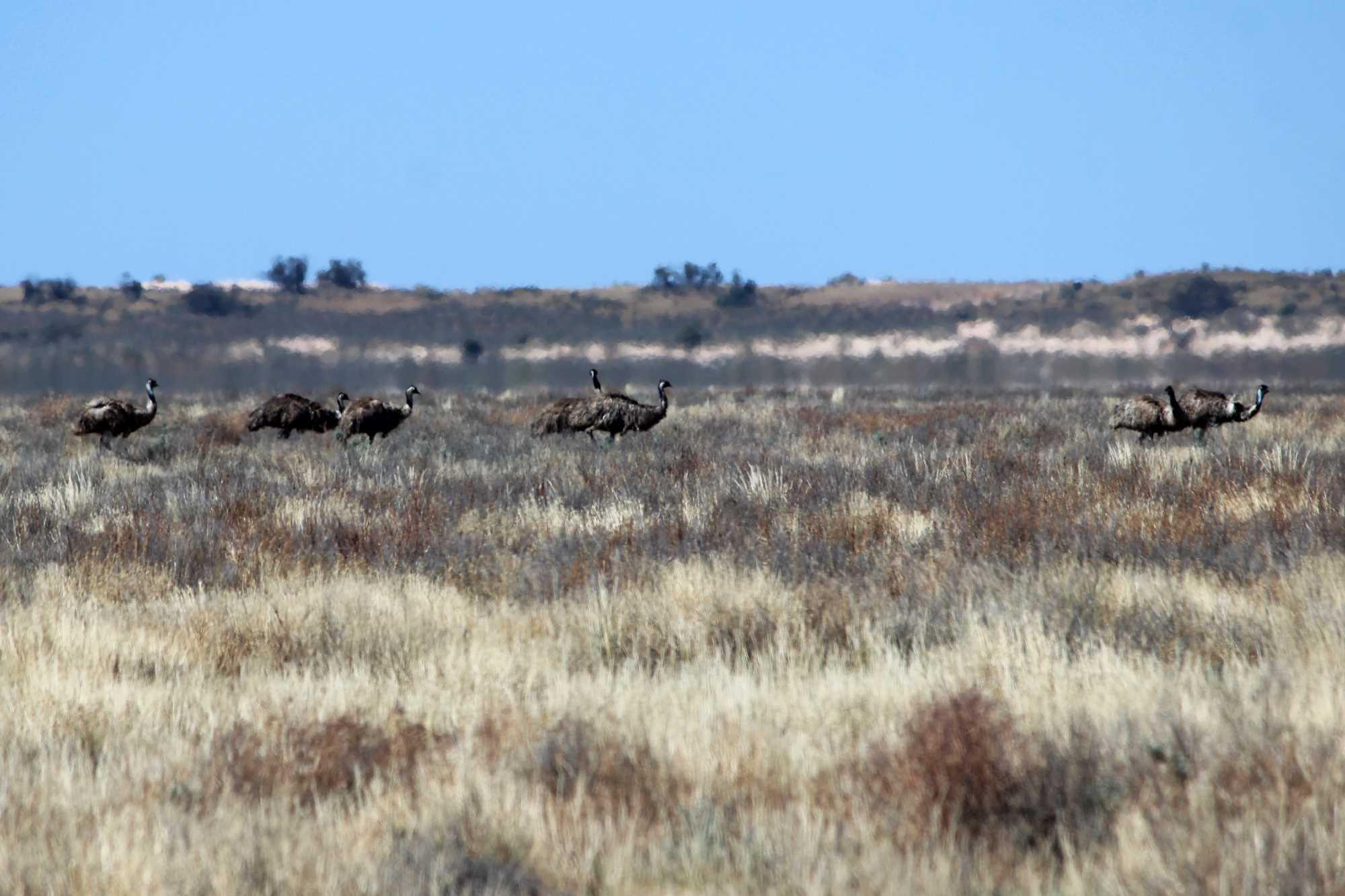 Emus at Mungo