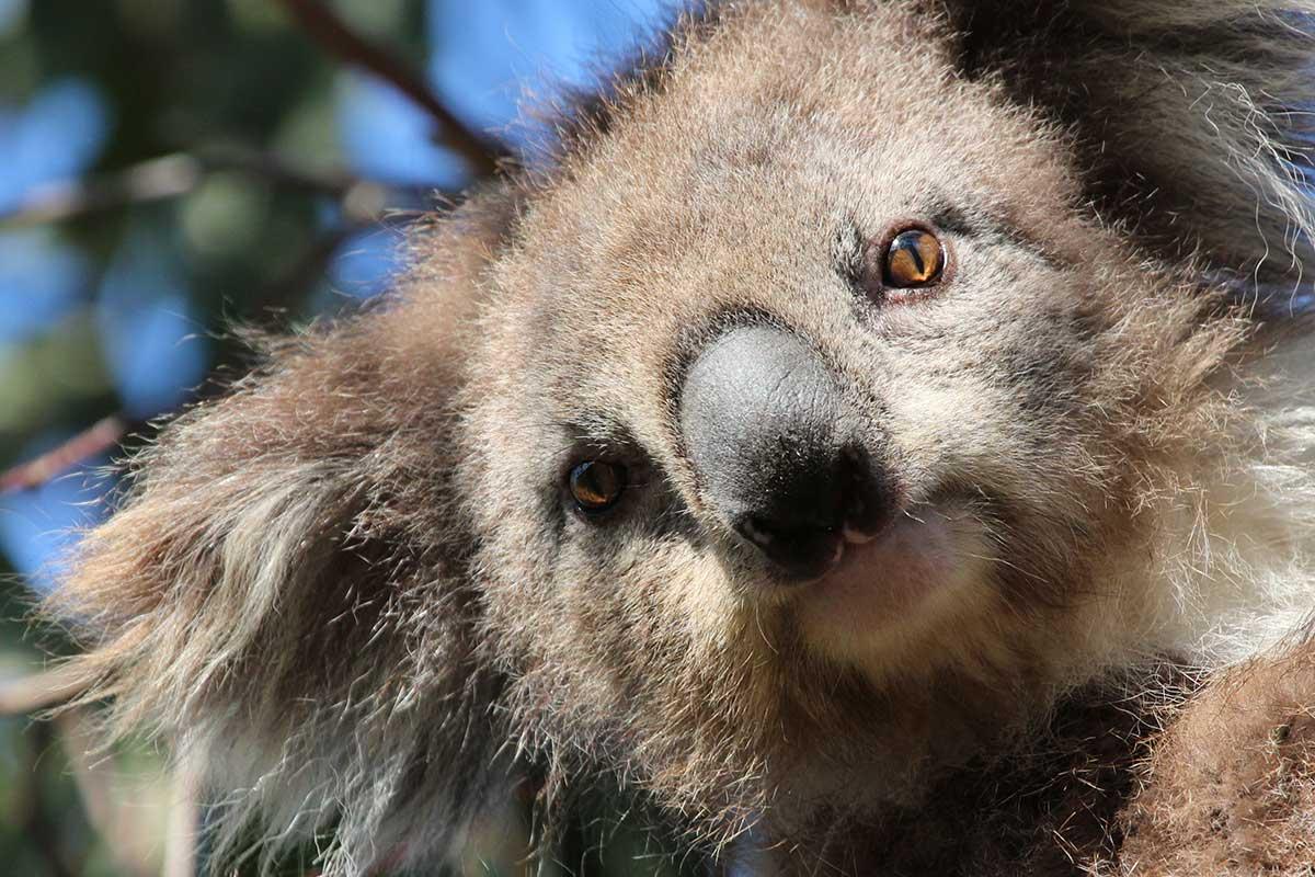 wild koala tour