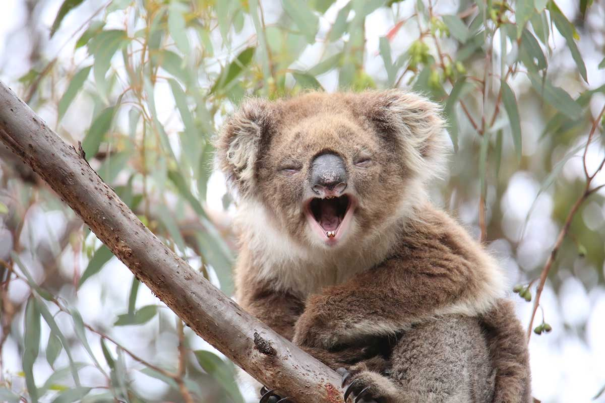wild-koala-laughing-on-tour