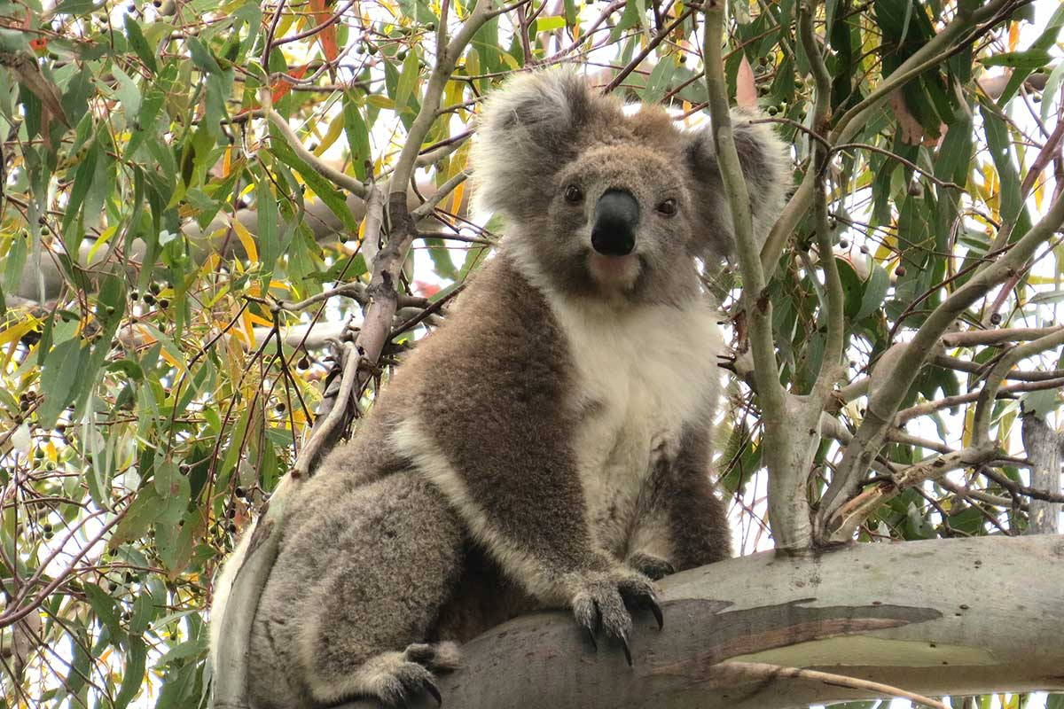 wild female koala looking curious