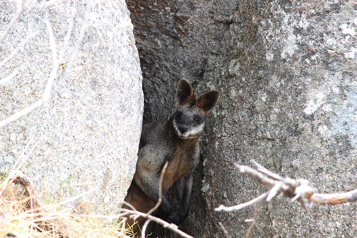 wallaby macropod between rocks