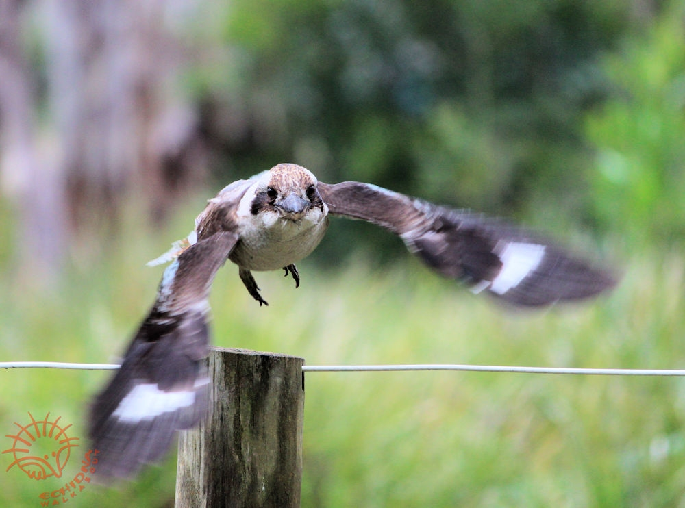 kookaburra-flying